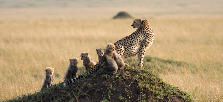 A CHEATER WITH ITS CUBS