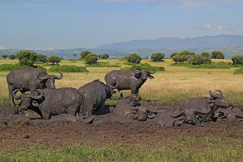 BUFFALOES ENJOYING MUD
